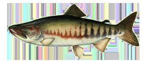 Keta Salmon