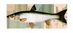 Redfin dace